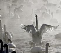 Настоящее лебединое озеро — на выставке в ЦДХ