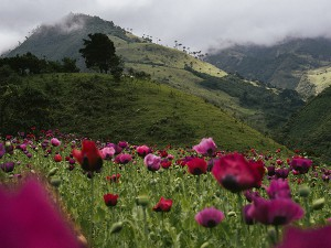 A poppy field in Tacueyó, Cauca. Green and red are the colors that identify the Indigenous Guard in Toribio symbolizing land and blood. Those colors are emblematic for the constant dispute about land, natural recourses, legal and illegal trade routs, drugs and power that Colombia, and all South America, wages since more than 500 years on a very high human cost. 06.06.2014