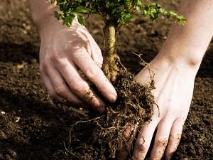 Посадка деревьев руки